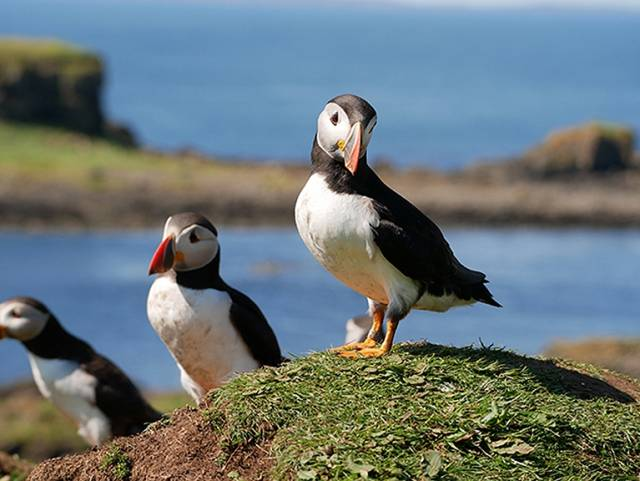 One of cruising's many pleasures is the unrivalled opportunity it provides to enjoy island and coastal wildlife without fuss. These puffins were seen on the Treshnish Islands west of Mull during the cruise by the Sun Fizz 40 Mystique of Malahide (Robert & Rose Michael) to the west coast of Scotland in July 2016