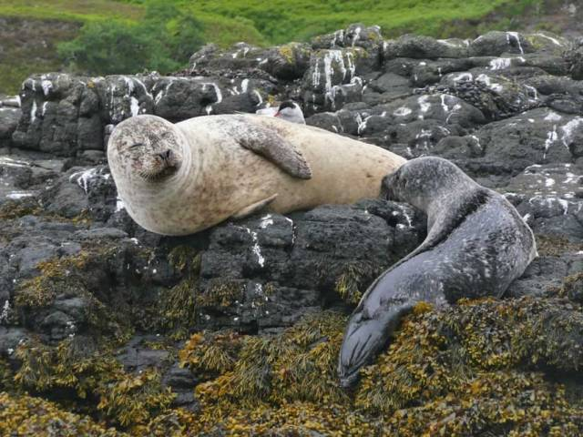 Grey seals like these, as well as common seals, are regularly found around the Irish and British coasts